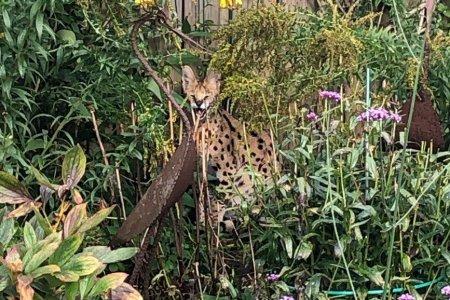 Ajutor, este un leopard in gr<span style='background:#EDF514'>ADINA</span>!, apelul disperat al unui german la serviciile de urgenta. Ce animal era, de fapt, in curte
