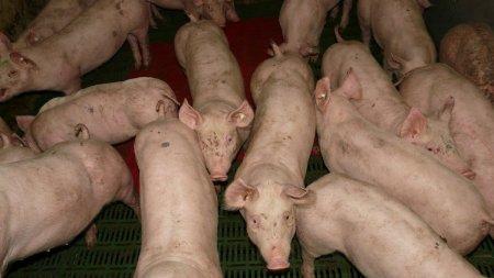 O noua criza in Marea Britanie. Sute de porci au fost sacrificati din cauza lipsei muncitorilor. <span style='background:#EDF514'>FERMIERII</span>, in lacrimi