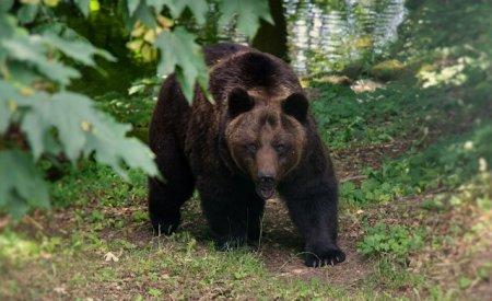 Barbat atacat de urs in judetul Vrancea. Victima a ajuns la spital, animalul a fost <span style='background:#EDF514'>GASIT MORT</span>