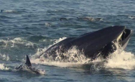 Un pescar a gasit o comoara: 30 de kilograme de <span style='background:#EDF514'>VARSATURI</span> de balena. Un kilogram costa 50.000 de euro