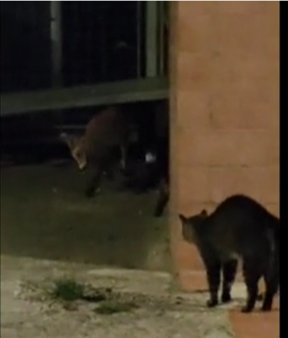VIDEO | O pisica a alungat o vulpe de pe o strada d<span style='background:#EDF514'>IN BRASO</span>v
