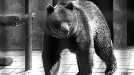 Urs ucis cu furci si <span style='background:#EDF514'>TOPOARE</span> de satenii unei localitati din Vrancea, dupa ce a atacat trei oameni