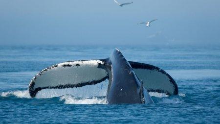 Comoara din balena: Un pescar s-a imbogatit dupa ce a gasit 30 de kilograme de aur plutitor
