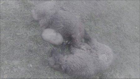 Comarnic: ziua si atacul ursilor. Animalul se face apoi nevazut si ataca iar. Oamenii nu au voie sa-si apere gospodaria