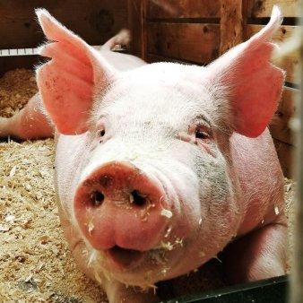 ANSVSA: 591 de <span style='background:#EDF514'>FOCAR</span>e de pesta porcina africana sunt active la nivel national