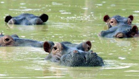 Hipopotamii lui Pablo Escobar terorizeaza populatia. Columbia va incepe sterilizarea gigantilor adusi de lordul drogurilor