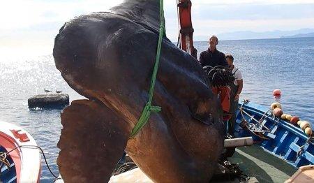O creatura marina bizara, numita Mola alexandrini, s-a prins in plasele pe<span style='background:#EDF514'>SCARI</span>lor.Cum arata animalul gigant poreclit pestele-luna