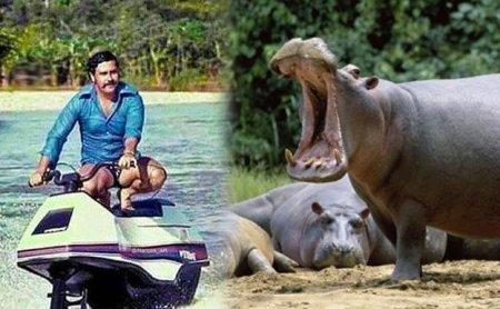 Columbia sterilizeaza hipopotamii lui Pablo Escobar (VIDEO)