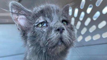 Sindromul rar care a dat unei pisici de 5 luni un chip imbatranit si mereu trist