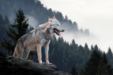 Lupul – lucruri uimitoare, legende si curiozitati despre lup