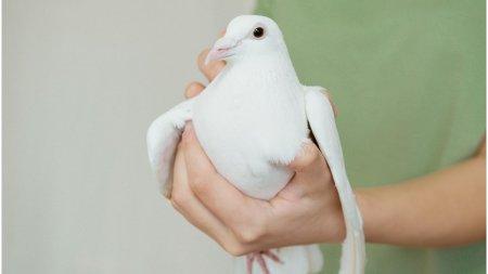 Roman condamnat la inchisoare pentru furt de porumbei, in Belgia. Paguba de 600.000 de euro