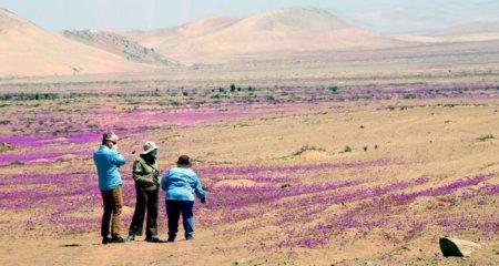 Fenomen incredibil: A inflorit unul dintre cele mai aride deserturi din lume FOTO