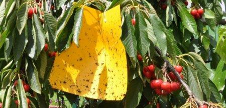 Arma cultivatorilor de fructe impotriva insectelor tot mai agresive din cauza schimbarilor climatice